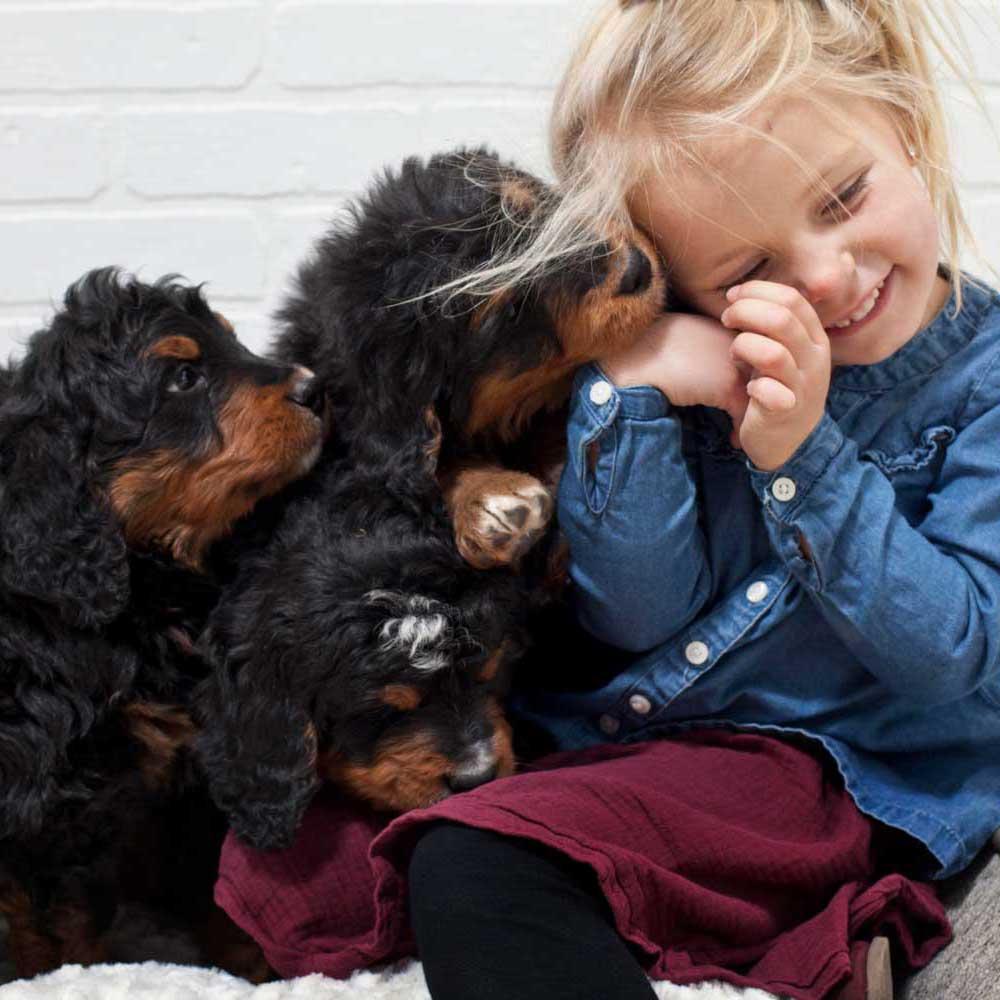 Bernedoodle for adoption Alberta