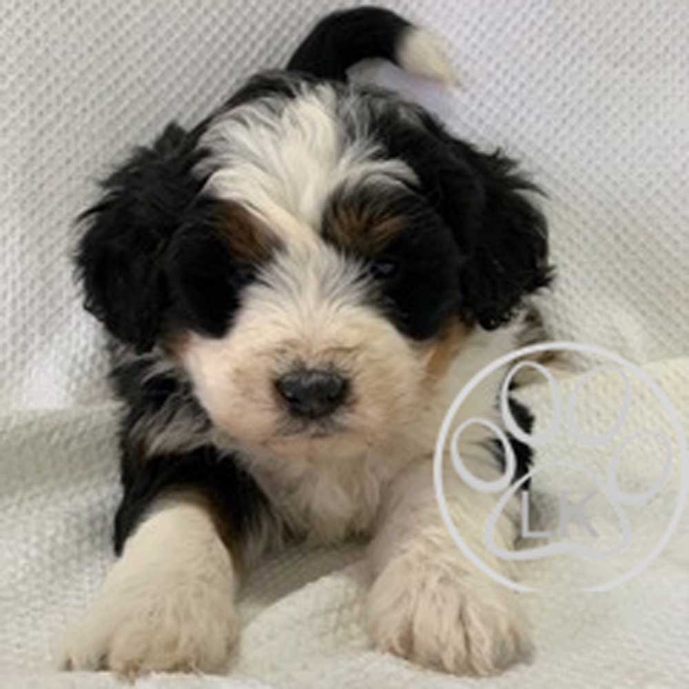 Available Bernedoodle Puppies Bernedoodle Puppies